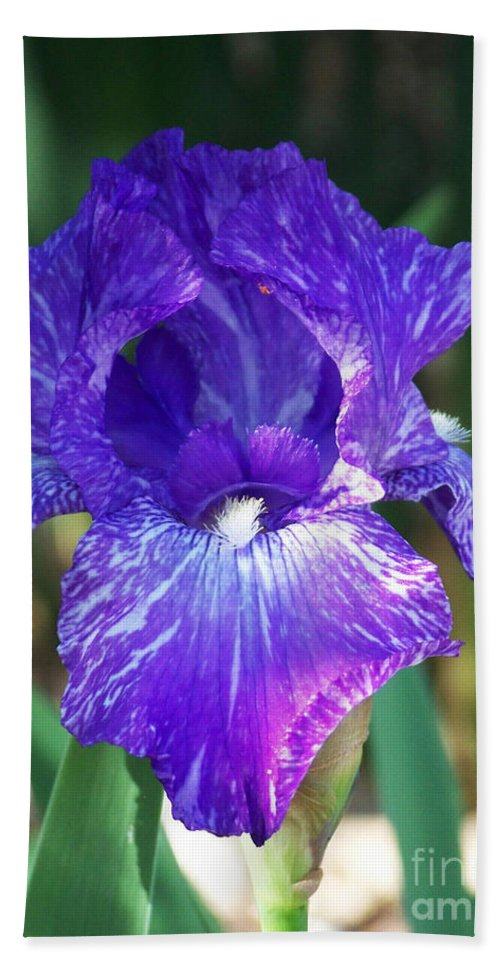 Flowers Beach Towel featuring the photograph Striped Blue Iris by Kathy McClure