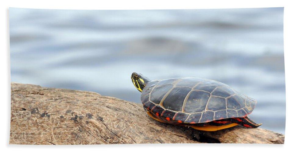 Turtle Beach Towel featuring the photograph Sunbathing Turtle by Glenn Gordon