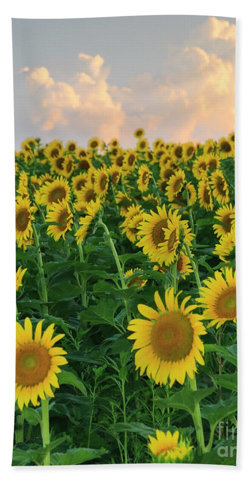 Flower Beach Towel featuring the photograph Sunflower Faces At Sunset by Terri Morris
