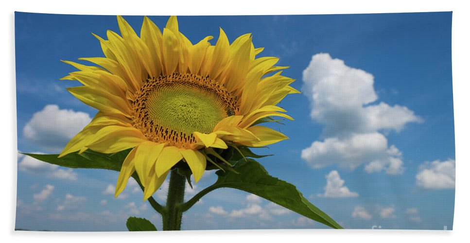 Sunflower Beach Towel featuring the photograph Sunflower by Oxana Gracheva