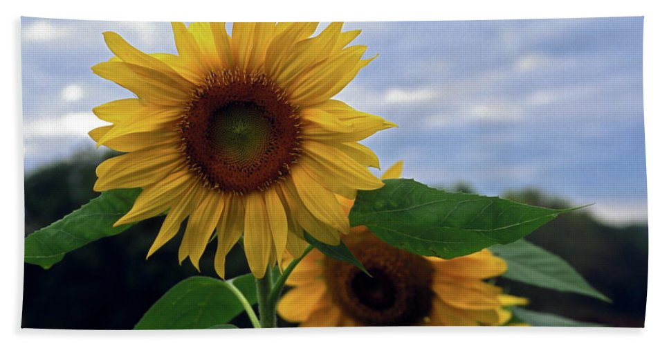 Sunflowers Against Sky Beach Towel featuring the photograph Sunflowers Close Up by Sally Weigand