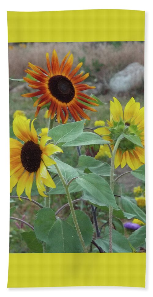 Sunflowers Beach Towel featuring the photograph Sunflowers Of August by Carol Corsaro