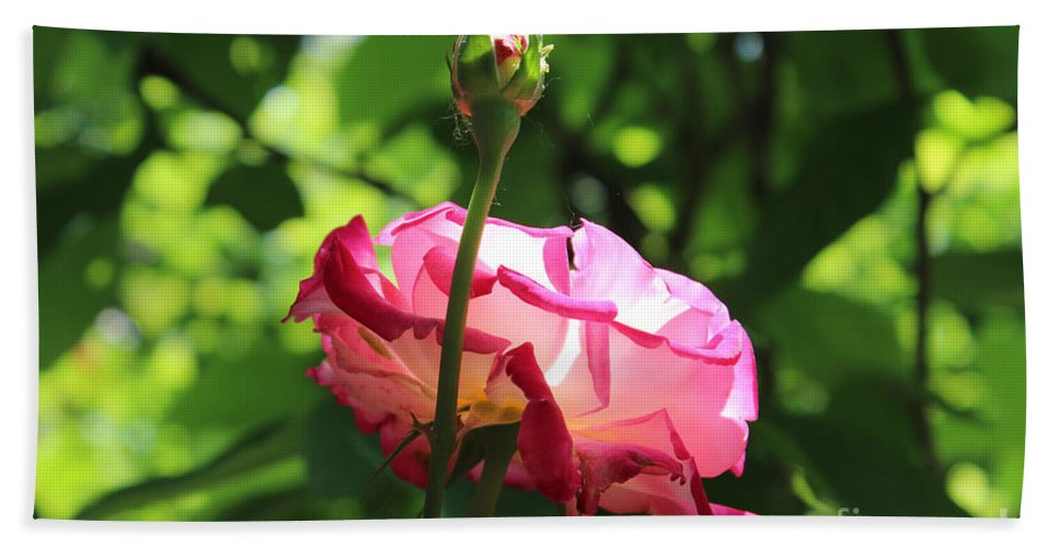 Rose Beach Towel featuring the painting Sunlight Through A Pink Rose by Corey Ford