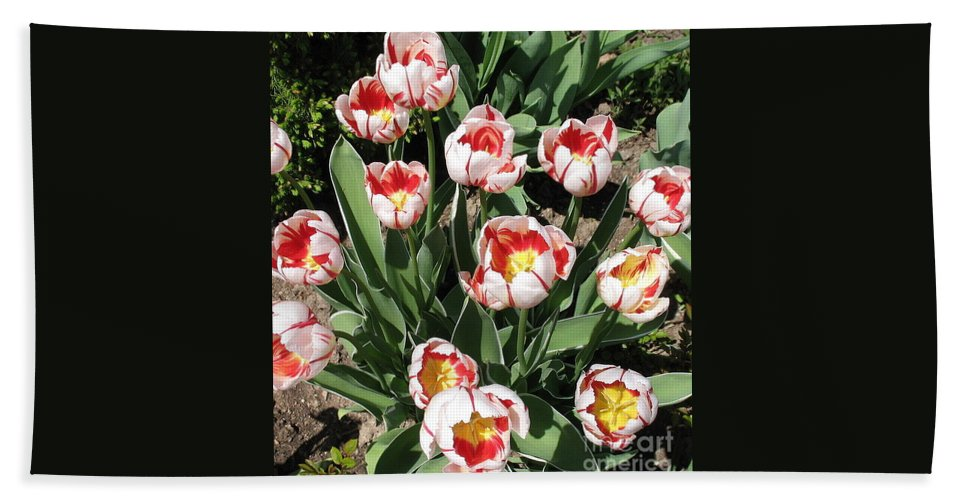 Botanicals.floral Beach Towel featuring the photograph Swanhurst Tulips by Jolanta Anna Karolska