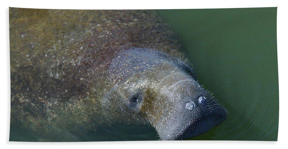 Manatee Beach Towel featuring the photograph Swimming Manatee by Svetlana Foote