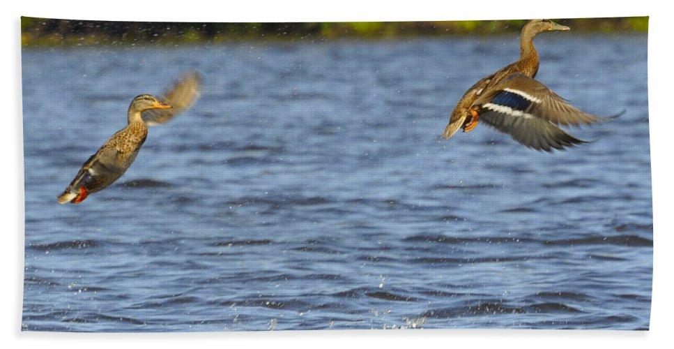 Ducks Beach Towel featuring the photograph Take Off by Glenn Gordon