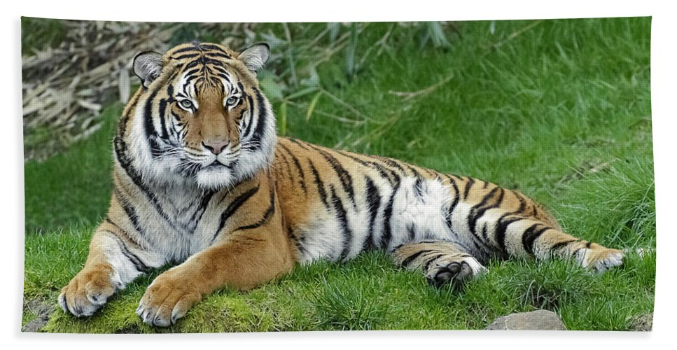 Takin It Easy Tiger Beach Towel featuring the photograph Takin It Easy Tiger by Wes and Dotty Weber
