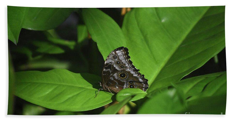 Blue-morpho Beach Towel featuring the photograph Terrific Eyespots On A Owl Butterfly On Leaves by DejaVu Designs