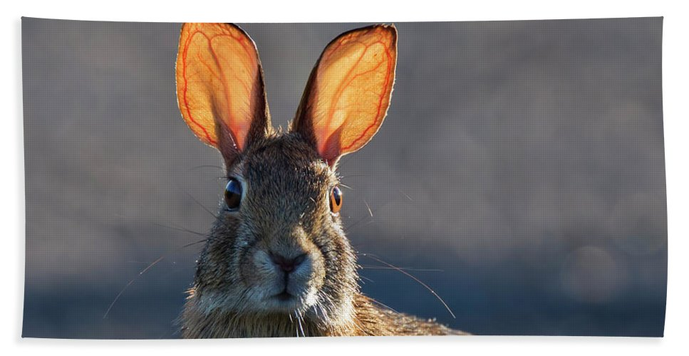 Eastern Beach Towel featuring the photograph Golden Ears Bunny by Mircea Costina Photography