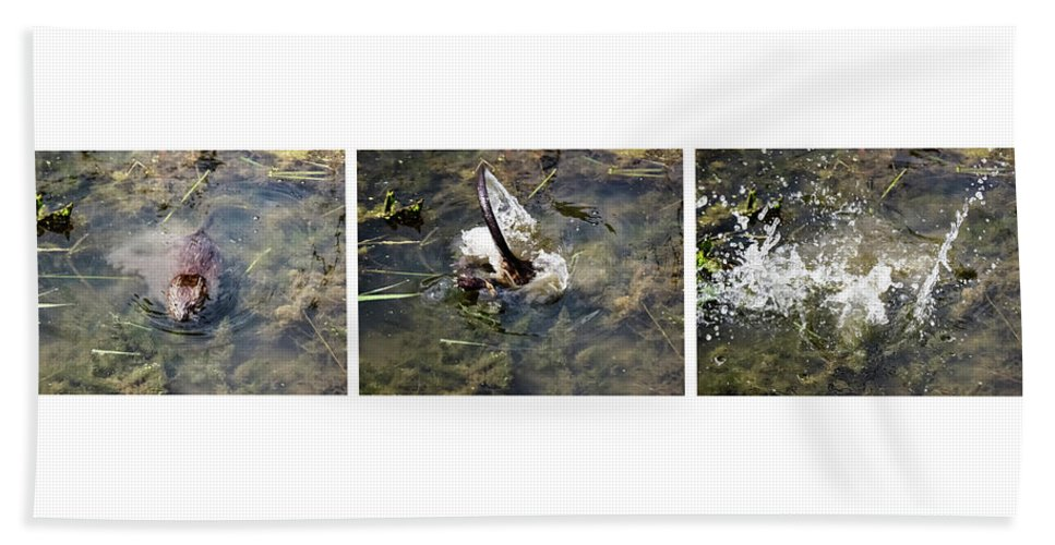 The Great Beaver Escape Triptych Beach Towel featuring the photograph The Great Beaver Escape Triptych by Cynthia Woods