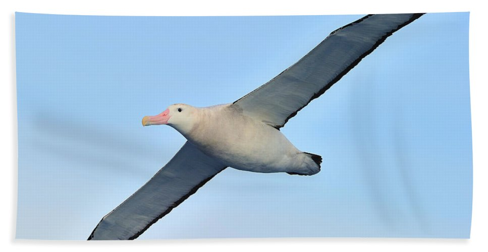 Wandering Albatross Beach Towel featuring the photograph The Greatest Seabird by Tony Beck