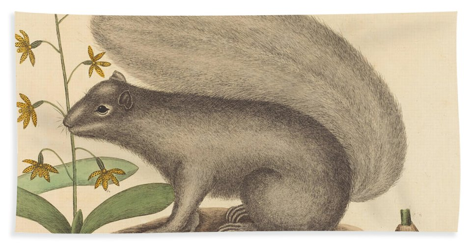 Beach Towel featuring the drawing The Grey Fox Squirrel (sciurus Cinereus) by Mark Catesby