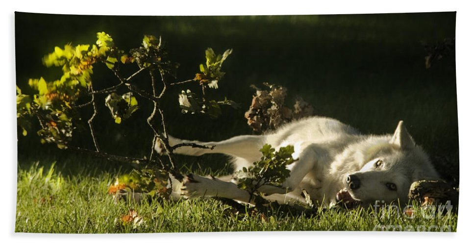 Wolf Beach Towel featuring the photograph The Happy Wolf by Angel Tarantella