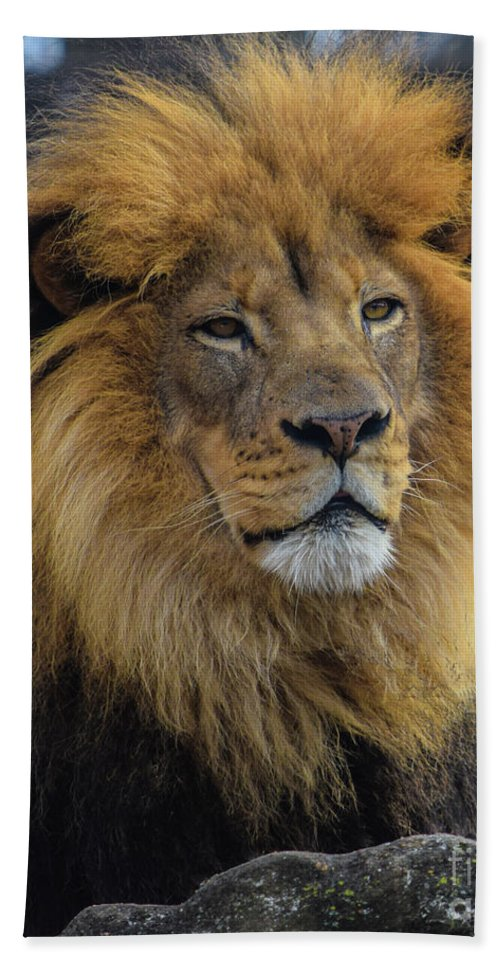 Lion Beach Towel featuring the photograph The King by Robert Edgar