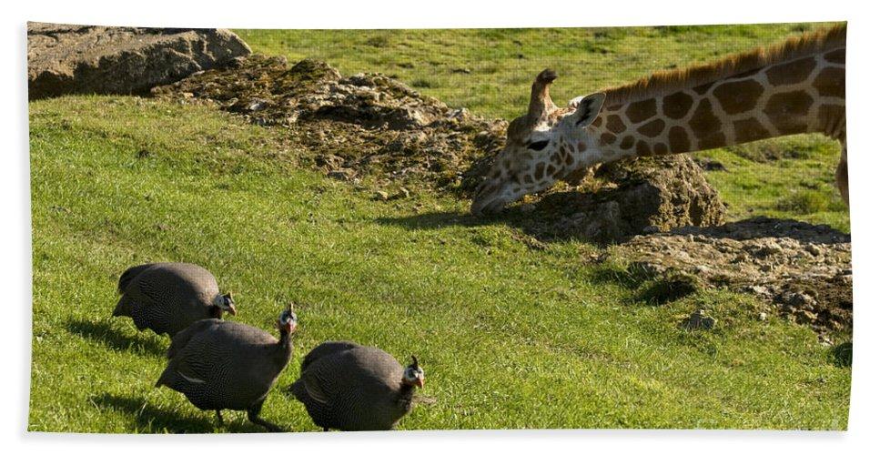 Helmeted Guineafowl Beach Towel featuring the photograph the Safari park by Angel Ciesniarska