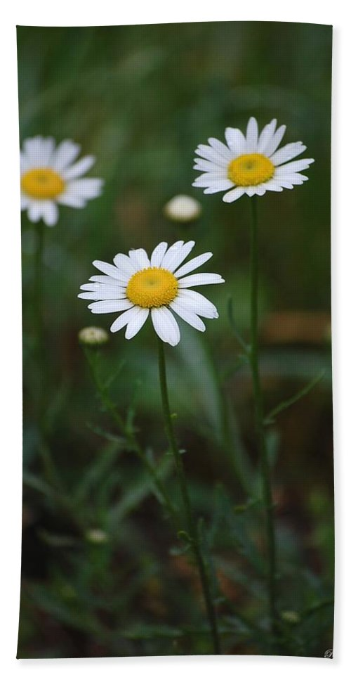 Flowers Beach Towel featuring the photograph Three Daisy's by Robert Meanor