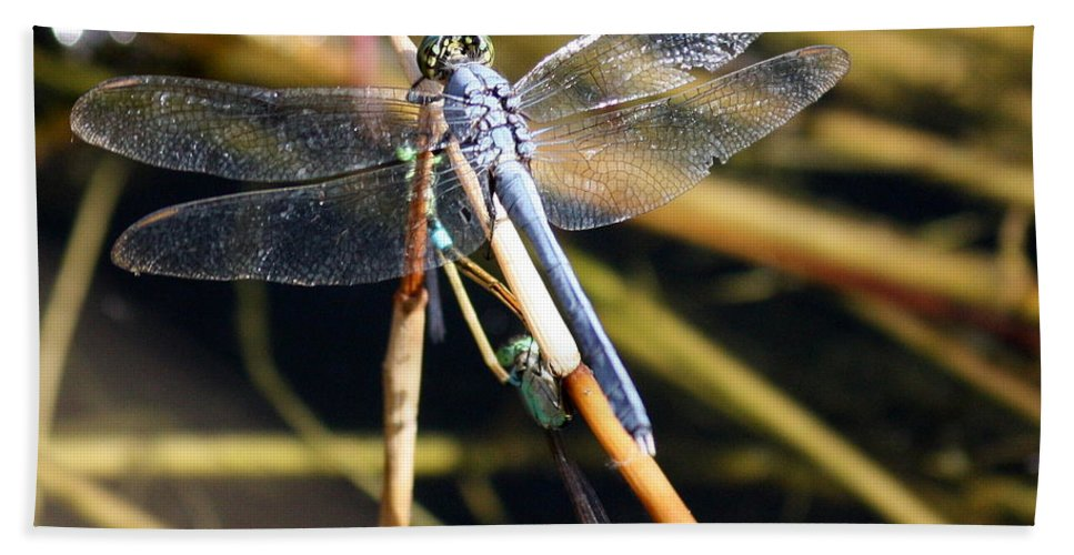 Dragonflies Beach Towel featuring the photograph Three Dragonflies On One Reed by Carol Groenen