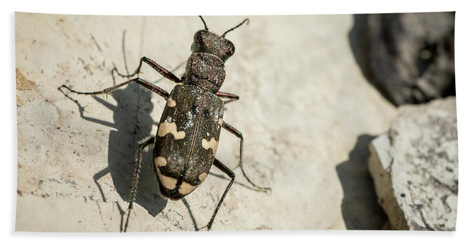Insect Beach Towel featuring the photograph Tiger Beetle Looking For Prey On A Stone by Stefan Rotter