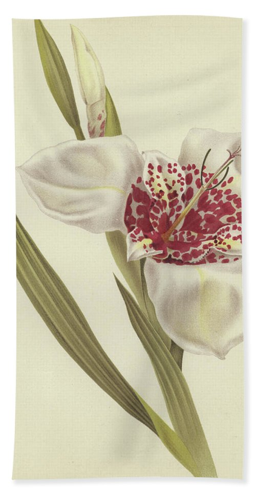 Still-life Beach Towel featuring the painting Tiger Flower  Tigridia Pavonia Alba by English School