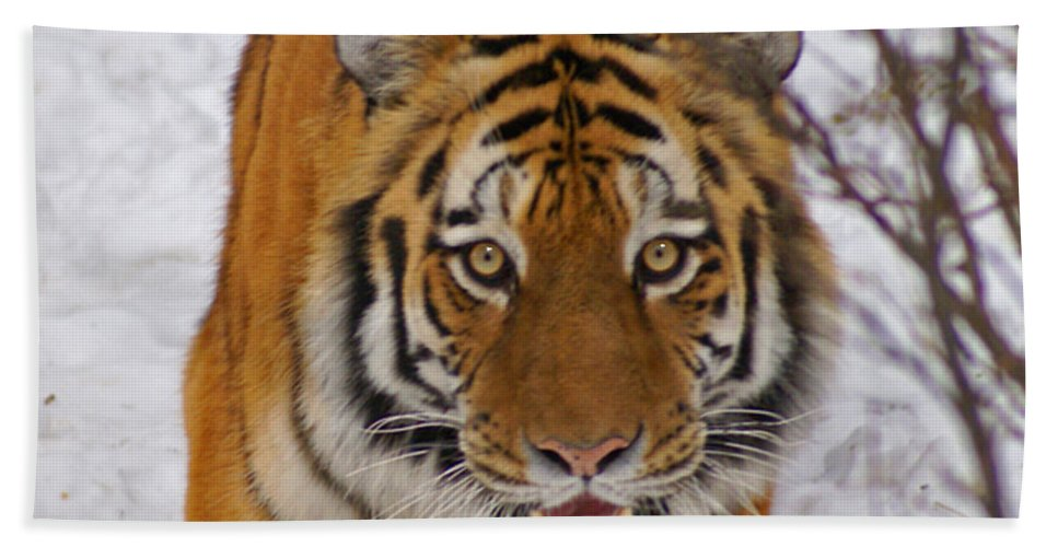 Tiger Beach Towel featuring the photograph Tiger by Heather Coen