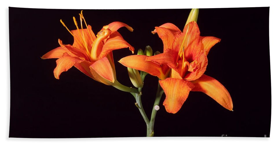 Flora Beach Towel featuring the photograph Tiger Lily Flower Opening Part by Ted Kinsman