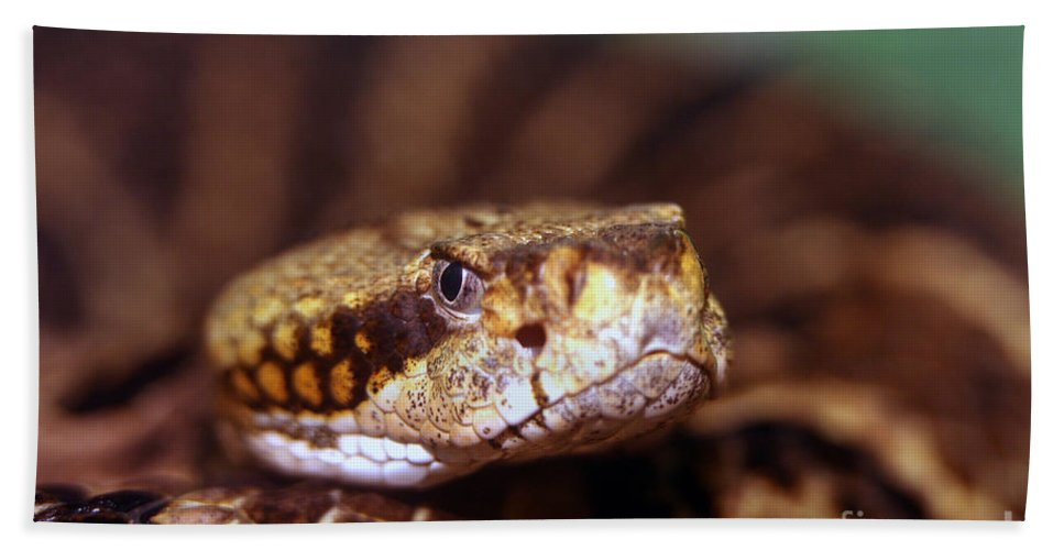 Animal Beach Towel featuring the photograph Timber Rattler Coil by Alan Look