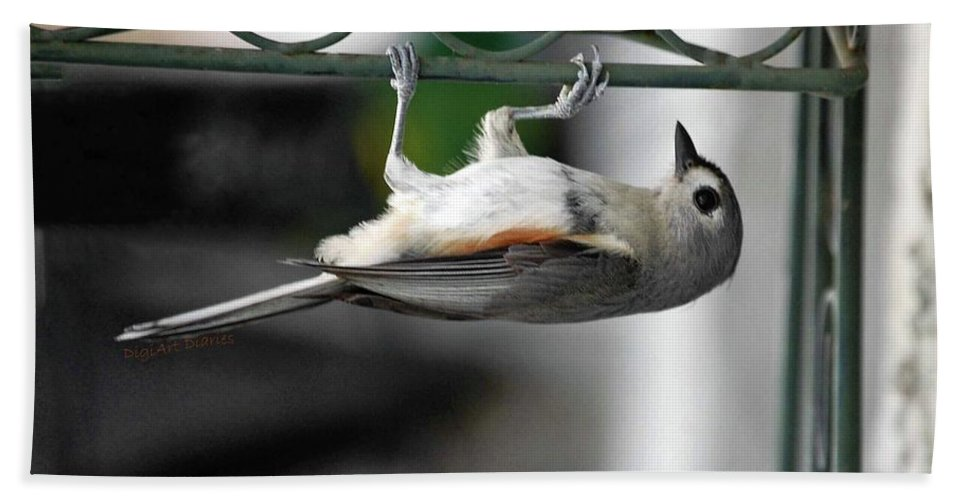 Tufted Titmouse Beach Towel featuring the photograph Titmouse Trickery by DigiArt Diaries by Vicky B Fuller