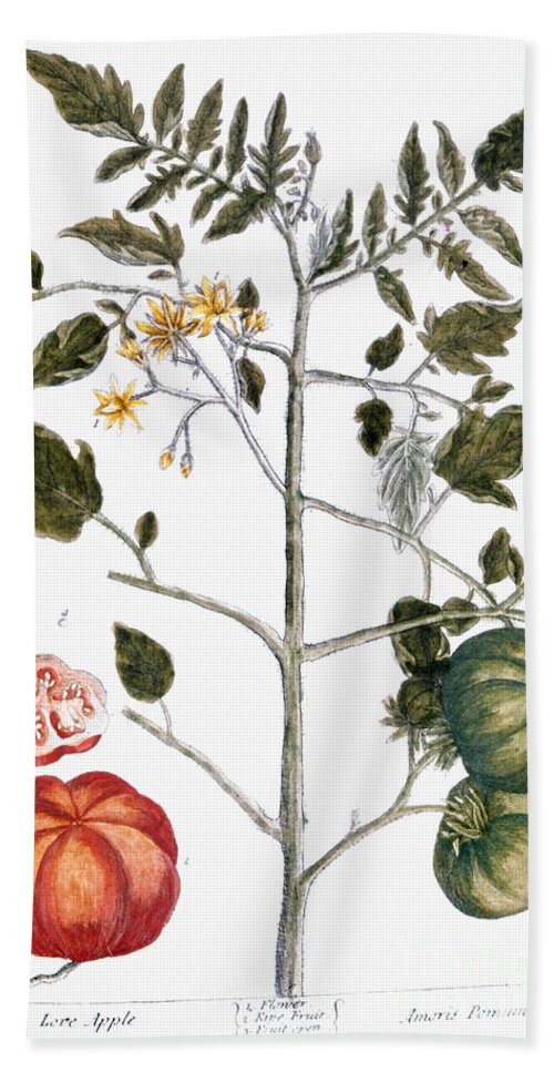 1730s Beach Towel featuring the photograph Tomato Plant, 1735 by Granger