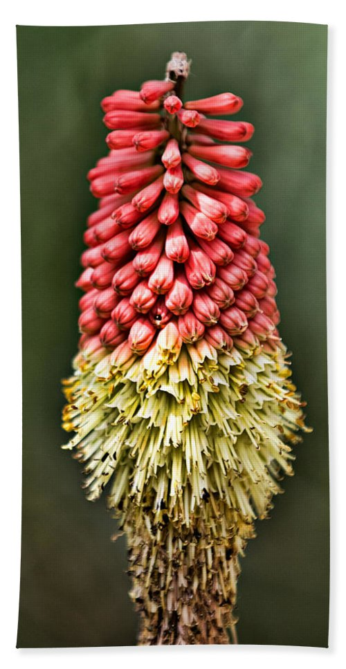 Kniphofia Uvaria Beach Towel featuring the photograph Torch Lily by Lana Trussell