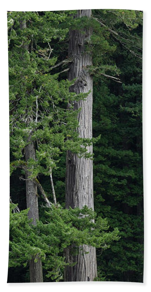 Redwoods Beach Towel featuring the photograph Towering by Greg Nyquist