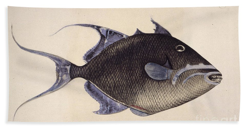 1585 Beach Towel featuring the photograph Trigger-fish, 1585 by Granger
