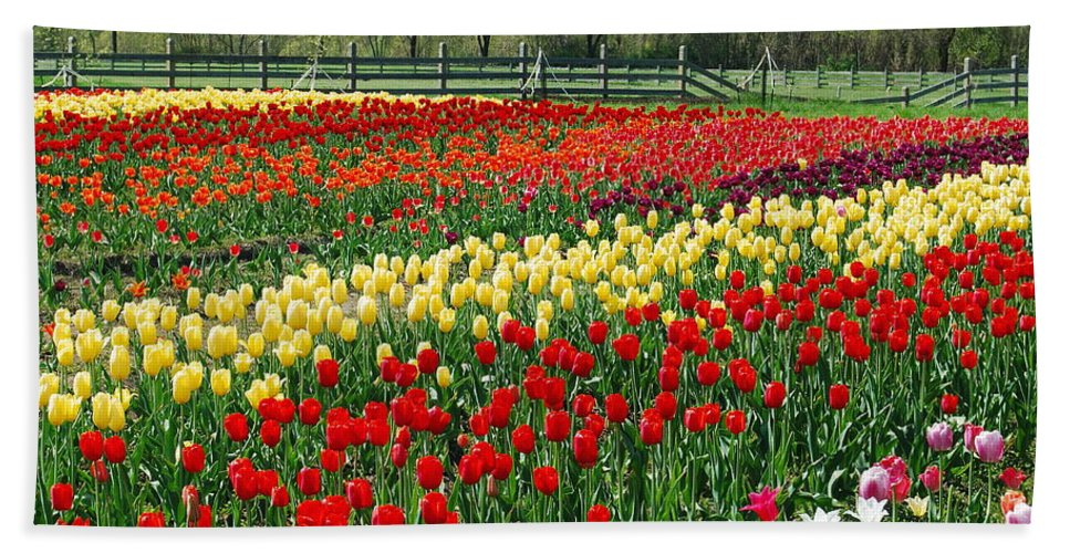 The Yellow And Red Rows Of Tulips On The Farm Bring The Feeling Of Spring Into The Home. Beach Towel featuring the photograph Tulip Fields by Michael Peychich