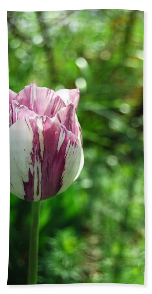 Tulip Beach Towel featuring the photograph Tulip Morn by Trish Hale