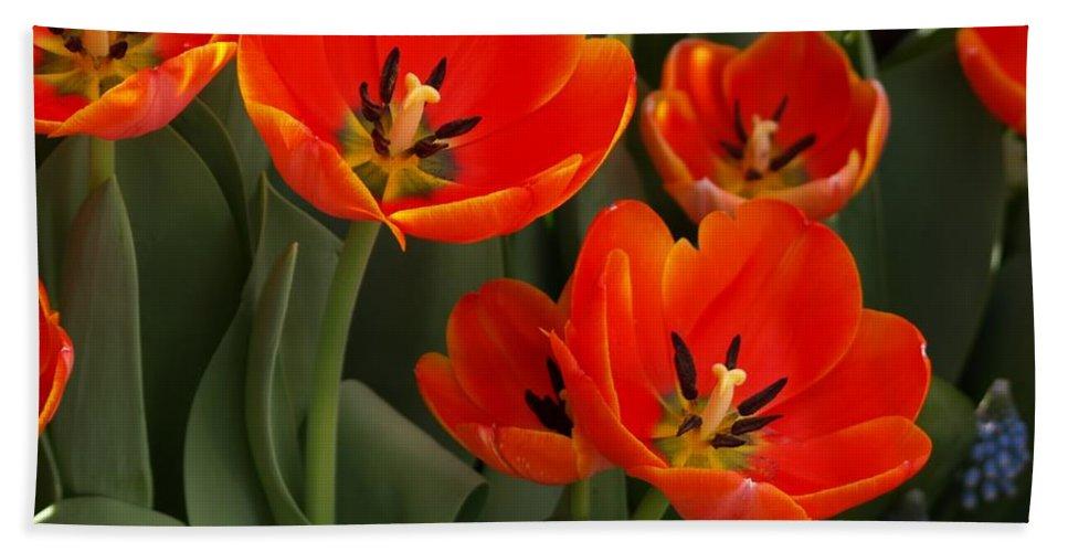 Ann Keisling Beach Sheet featuring the photograph Tulip Power by Ann Keisling