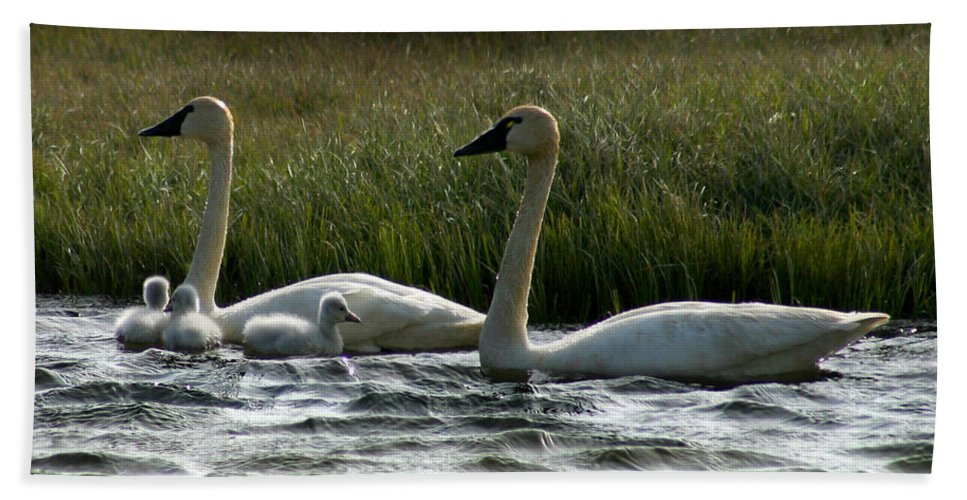 Swans Beach Towel featuring the photograph Tundra Swans And Cygents by Anthony Jones