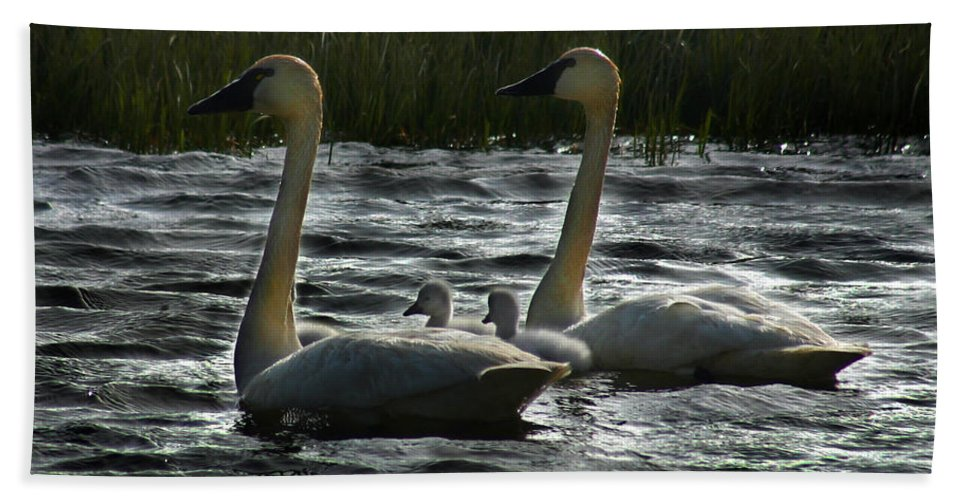Tundra Swans Beach Towel featuring the photograph Tundra Swans by Anthony Jones