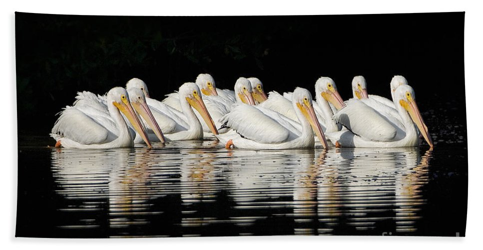 Pelicans Beach Towel featuring the photograph Twelve White Pelicans On A Dark Background. by John Harmon