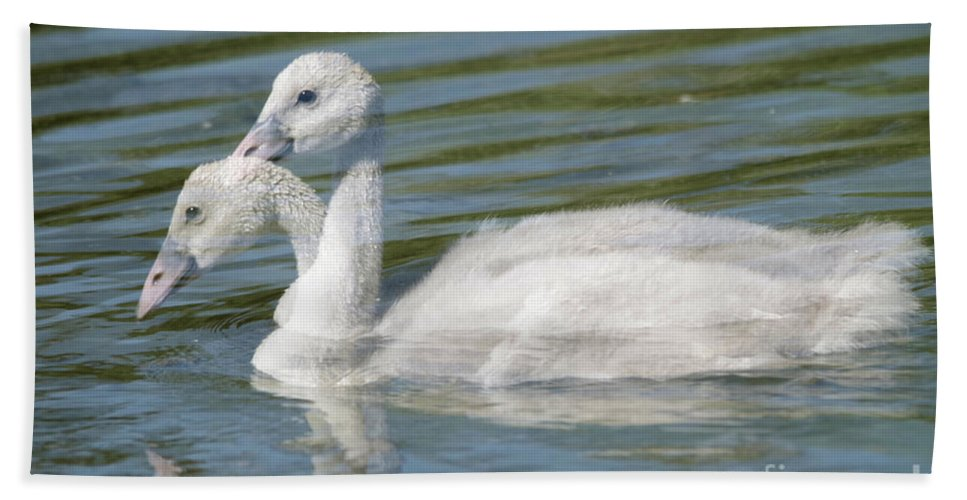 Cygnets Beach Towel featuring the photograph Two Cygnets by Jeff Swan