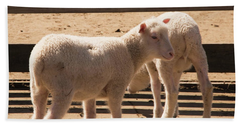 Sheep Beach Towel featuring the photograph Two Little Lambs. by Diane Schuler