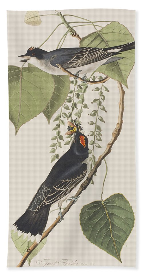 Tyrant Fly Catcher Beach Towel featuring the painting Tyrant Fly Catcher by John James Audubon