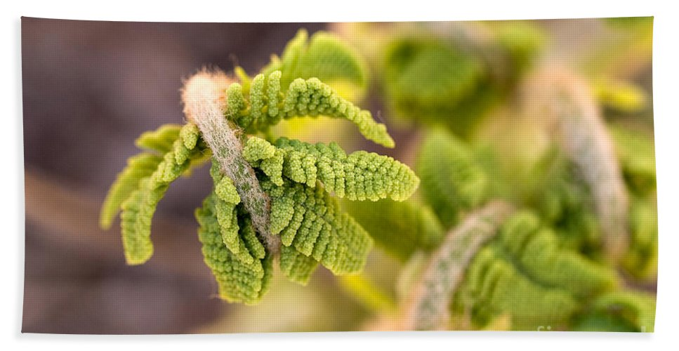 Nature Beach Towel featuring the photograph Unfolding Fern Leaf by Louise Heusinkveld