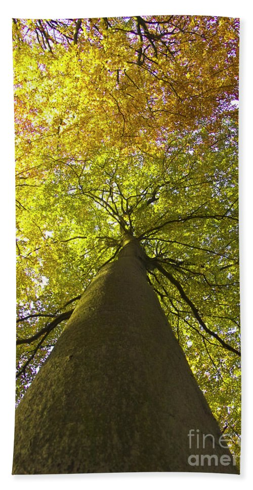 Trees Beach Towel featuring the photograph View To The Top Of Beech Tree by Heiko Koehrer-Wagner