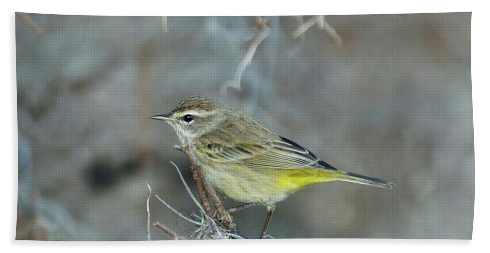 Warbling Vireo Beach Towel featuring the photograph Warbling Vireo by Svetlana Foote