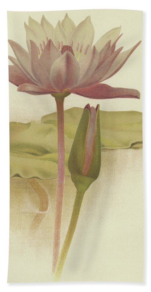 Water Lily Beach Towel featuring the drawing Water Lily Nymphaea Zanzibarensis by English School
