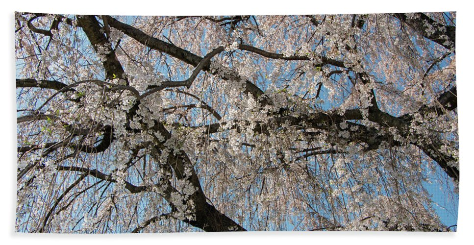 Cherry Beach Towel featuring the photograph Weeping Cherry In Spring by Liza Eckardt
