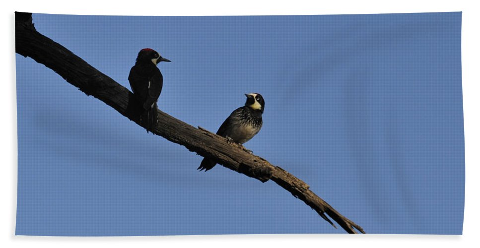 Birds Beach Towel featuring the photograph Western Woodpeckers by David Arment