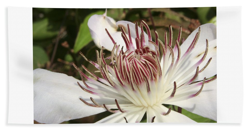 Clematis Beach Towel featuring the photograph White Clematis Henryi by Margie Wildblood