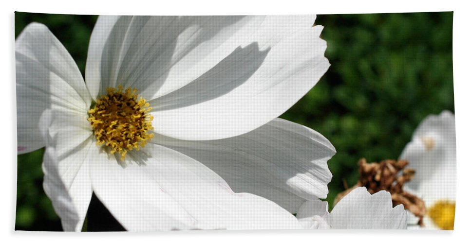 Flower Beach Towel featuring the photograph White Cosmos by Smilin Eyes Treasures