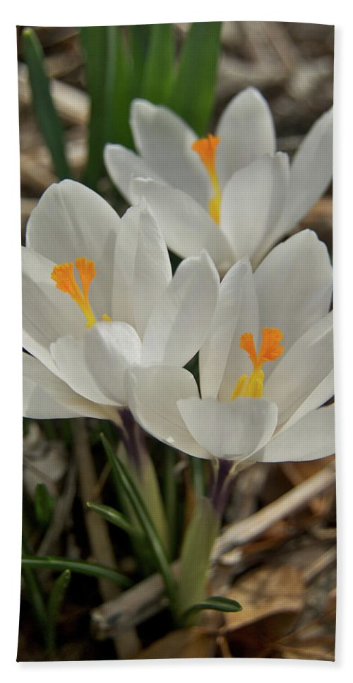 Crocus Beach Towel featuring the photograph White Crocuses by Michael Peychich