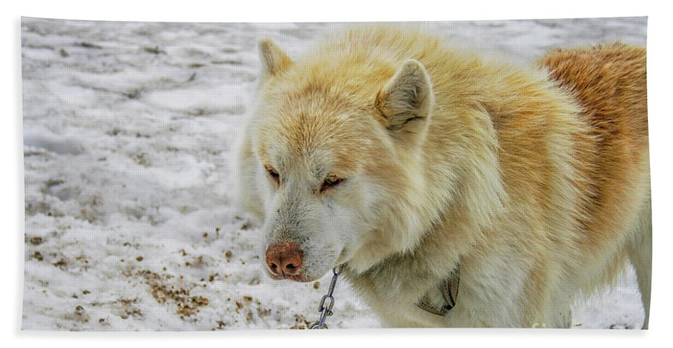 Animal Beach Towel featuring the photograph White Huskie by Patricia Hofmeester